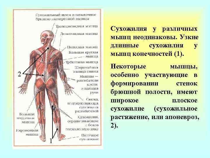Сухожилия у различных   мышц неодинаковы. Узкие   длинные сухожилия