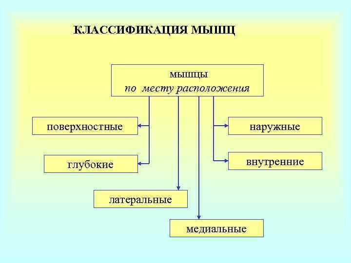 КЛАССИФИКАЦИЯ МЫШЦ     мышцы   по месту расположения