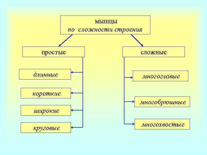 мышцы   по сложности строения простые
