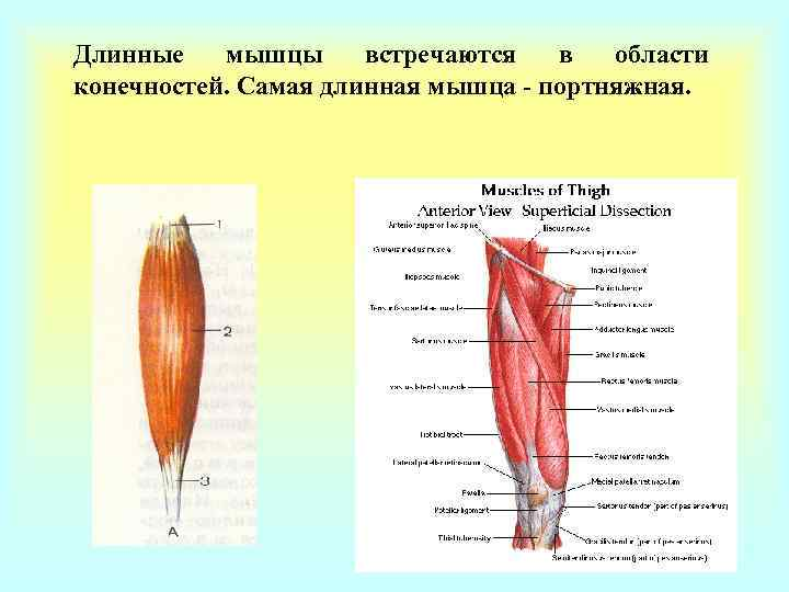 Длинные  мышцы встречаются  в  области конечностей. Самая длинная мышца - портняжная.