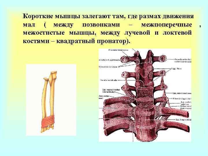 Короткие мышцы залегают там, где размах движения мал ( между позвонками – межпоперечные ,