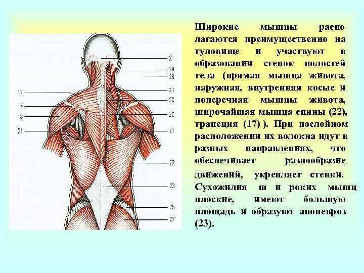 Широкие мышцы  распо - лагаются преимущественно на туловище  и  участвуют