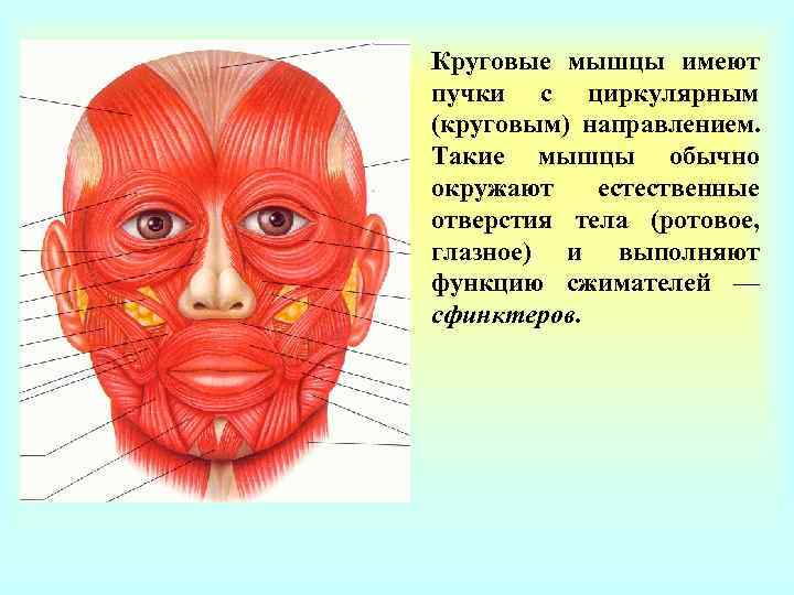 Круговые мышцы имеют пучки с циркулярным (круговым) направлением. Такие мышцы обычно окружают  естественные