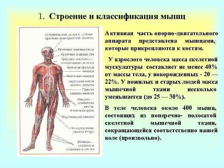 1. Строение и классификация мышц    Активная часть опорно-двигательного