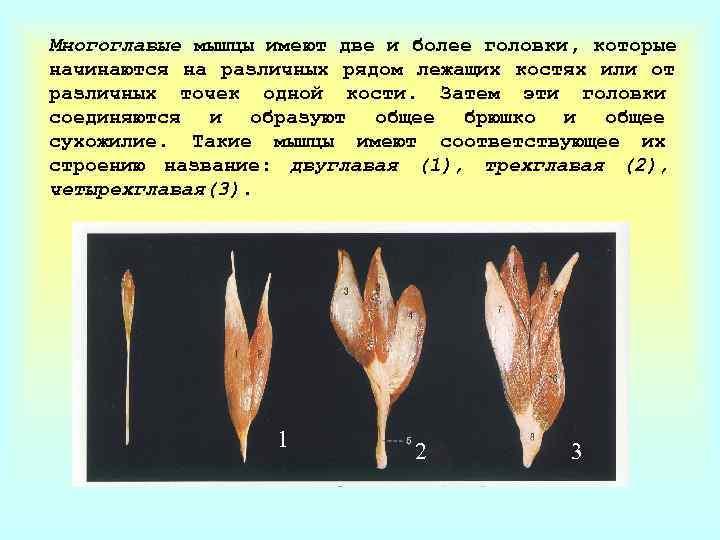 Многоглавые мышцы имеют две и более головки, которые начинаются на различных рядом лежащих костях