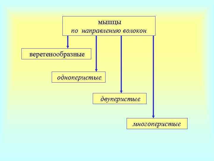 мышцы   по направлению волокон  веретенообразные  одноперистые