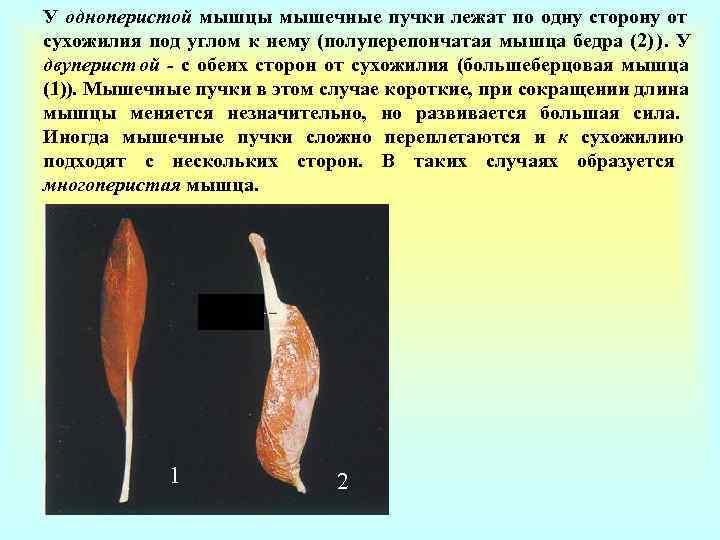 У одноперистой мышцы мышечные пучки лежат по одну сторону от сухожилия под углом к