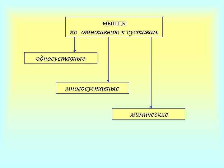 мышцы   по отношению к суставам  односуставные  многосуставные