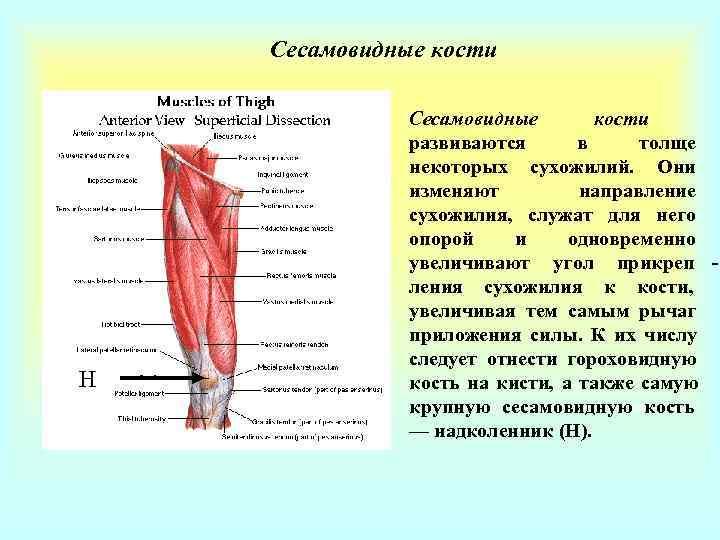 Сесамовидные кости    Сесамовидные  кости    развиваются