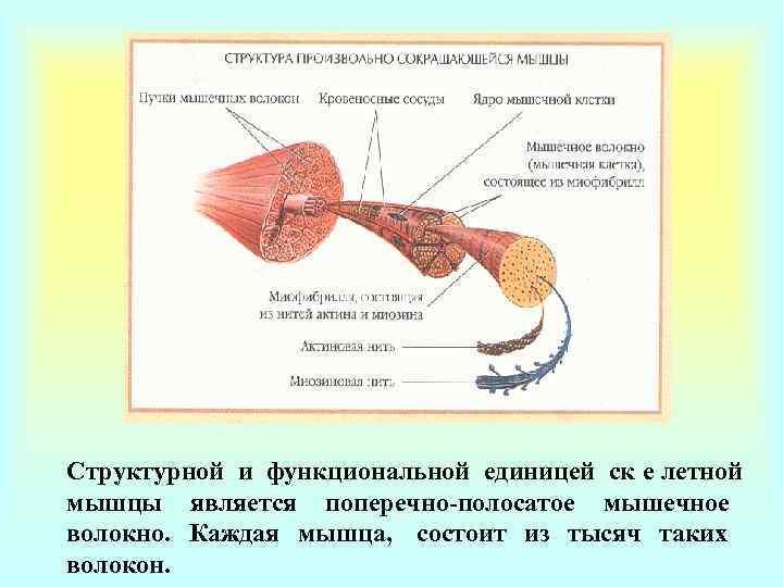 Структурной и функциональной единицей ск е летной мышцы является поперечно-полосатое мышечное волокно. Каждая мышца,