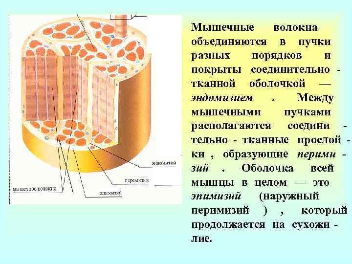 Мышечные  волокна объединяются в пучки разных порядков  и покрыты соединительно - тканной