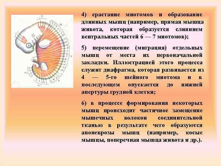4) срастание миотомов и образование длинных мышц (например, прямая мышца живота, которая образуется слиянием