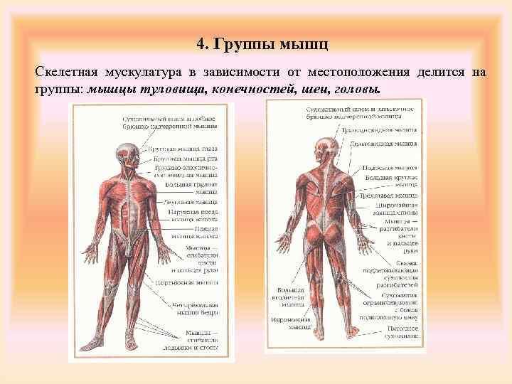 4. Группы мышц Скелетная мускулатура в зависимости от местоположения
