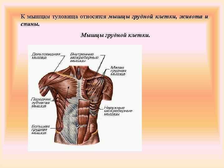 К мышцам туловища относятся мышцы грудной клетки, живота и спины.    Мышцы