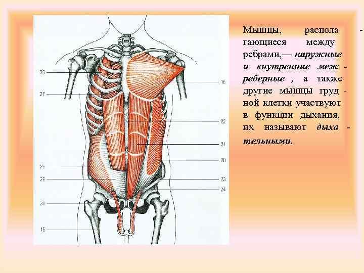 Мышцы,  распола - гающиеся между ребрами, — наружные и внутренние меж - реберные