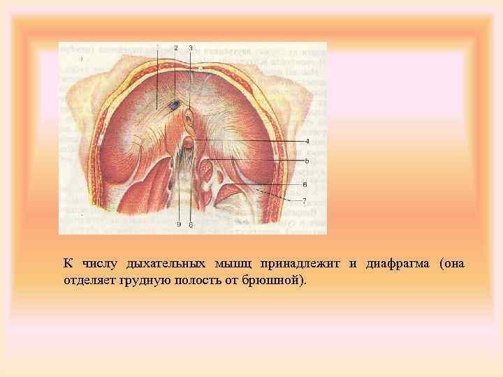 К числу дыхательных мышц принадлежит и диафрагма (она отделяет грудную полость от брюшной).