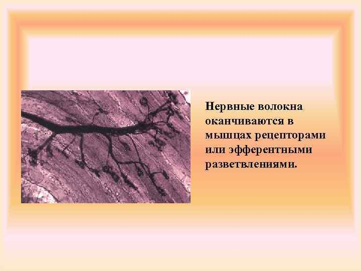 Нервные волокна оканчиваются в мышцах рецепторами или эфферентными разветвлениями.