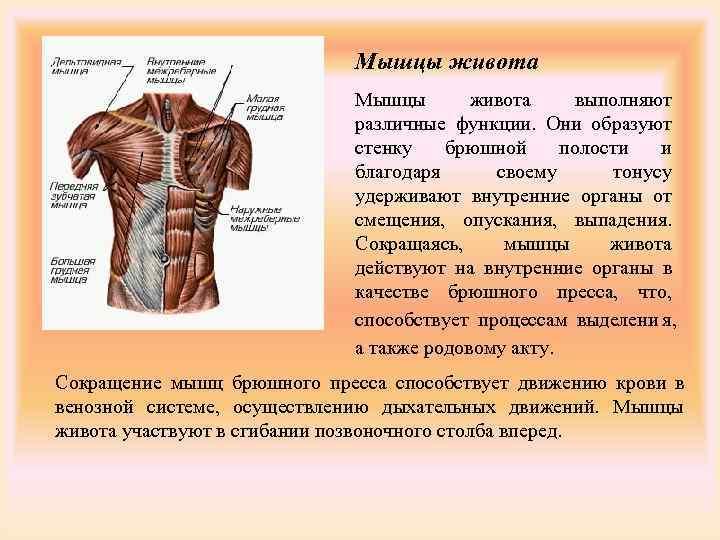 Мышцы живота     Мышцы  живота