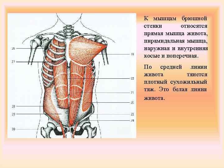 К мышцам брюшной стенки  относятся прямая мышца живота, пирамидальная мышца, наружная и внутренняя