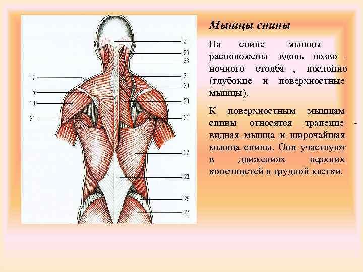 Мышцы спины На  спине  мышцы расположены вдоль позво - ночного столба ,