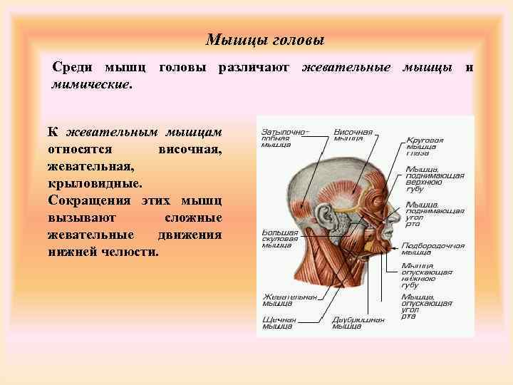 Мышцы головы Среди мышц головы различают жевательные мышцы и
