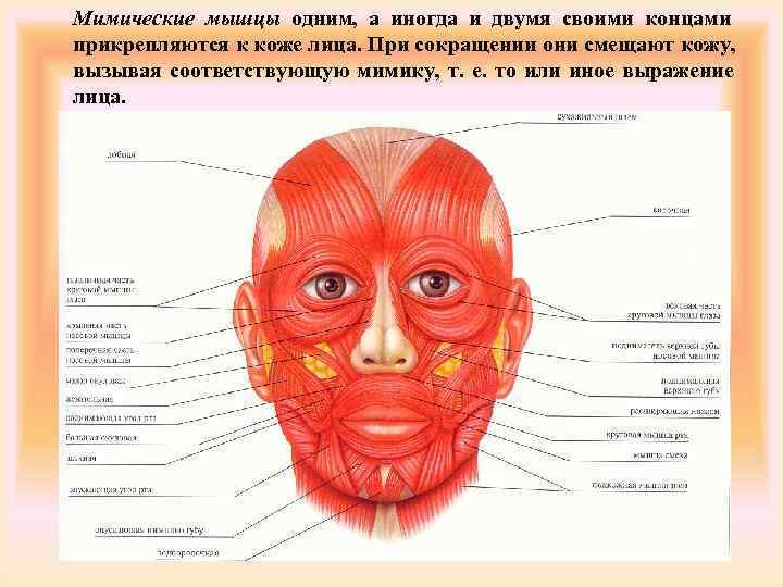 Мимические мышцы одним, а иногда и двумя своими концами прикрепляются к коже лица. При