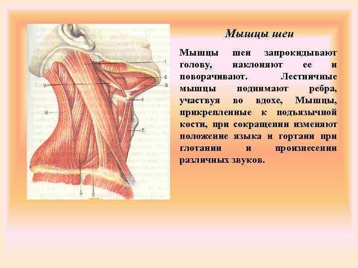 Мышцы шеи запрокидывают голову, наклоняют  ее  и поворачивают.