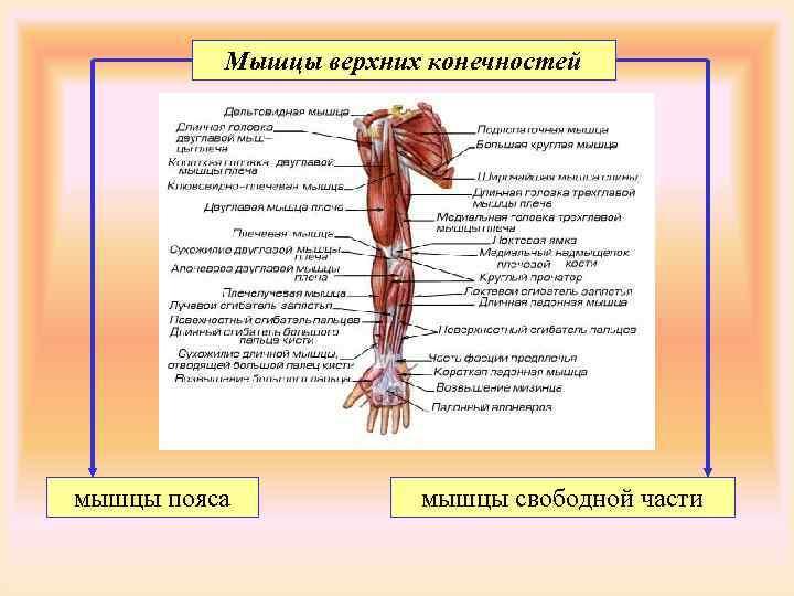 Мышцы верхних конечностей мышцы пояса  мышцы свободной части