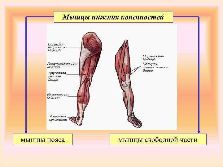Мышцы нижних конечностей мышцы пояса  мышцы свободной части