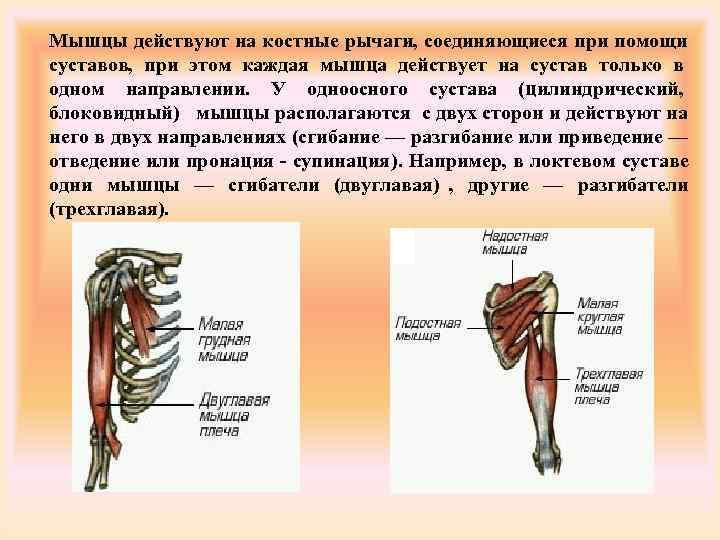 Мышцы действуют на костные рычаги, соединяющиеся при помощи суставов, при этом каждая мышца действует