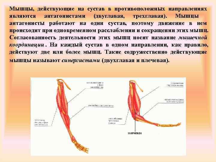 Мышцы, действующие на сустав в противоположных направлениях являются антагонистами (двуглавая, трехглавая). Мышцы антагонисты работают