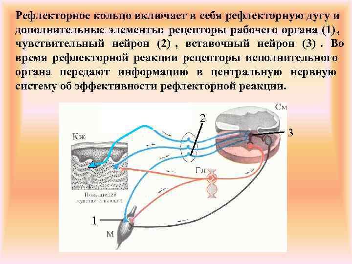 Рефлекторное кольцо включает в себя рефлекторную дугу и дополнительные элементы: рецепторы рабочего органа (1),