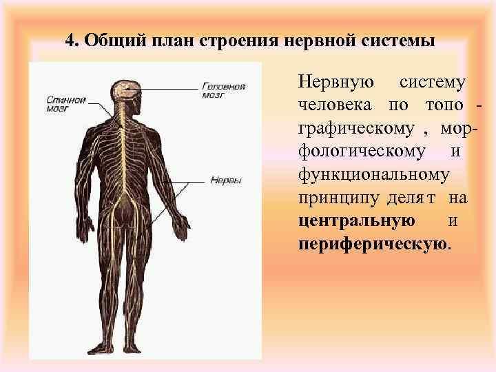 4. Общий план строения нервной системы     Нервную систему