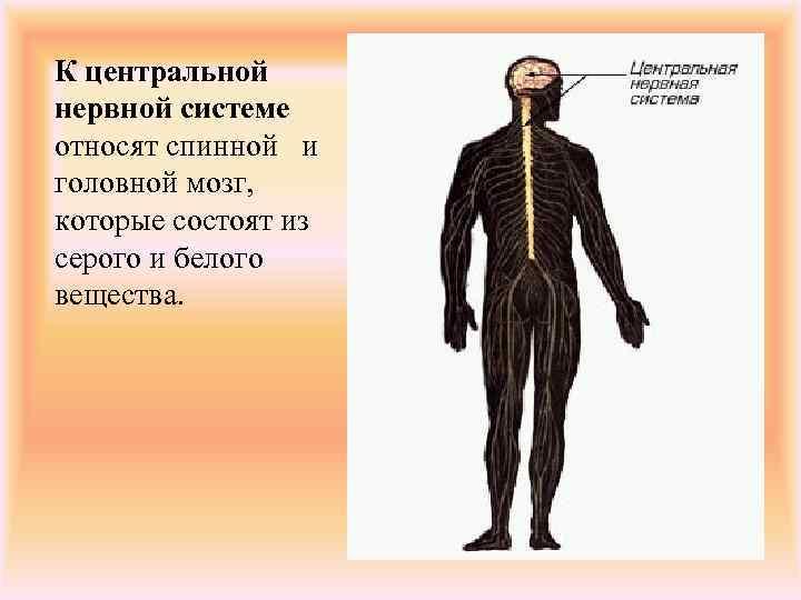 К центральной нервной системе относят спинной и головной мозг, которые состоят из серого и