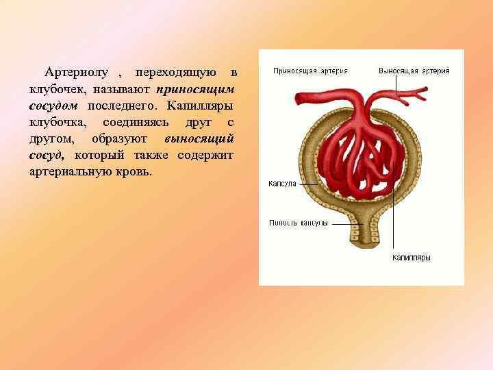 Артериолу , переходящую в клубочек, называют приносящим сосудом последнего. Капилляры клубочка, соединяясь друг