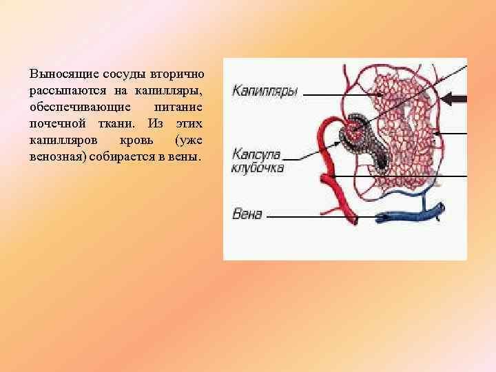 Выносящие сосуды вторично рассыпаются на капилляры, обеспечивающие питание почечной ткани. Из этих капилляров