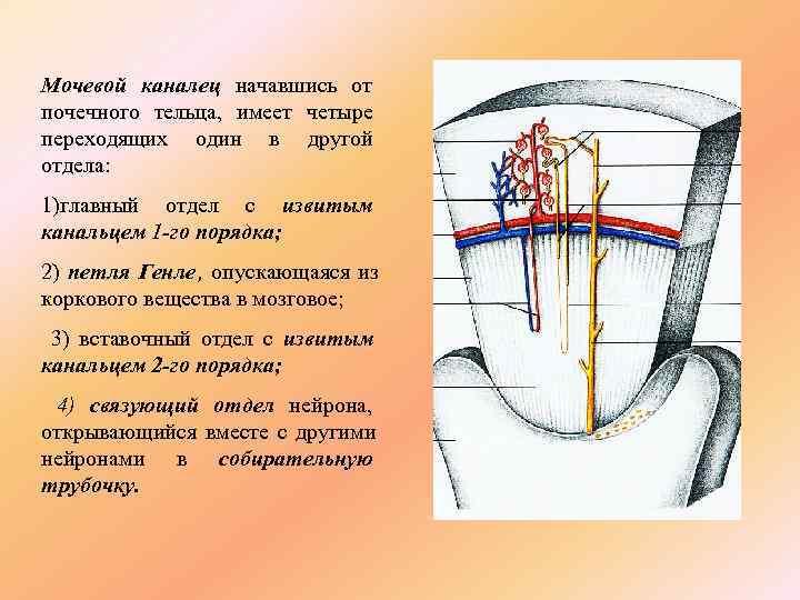 Мочевой каналец начавшись от почечного тельца, имеет четыре переходящих один в другой отдела: 1)главный