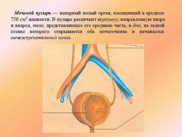 Мочевой пузырь — непарный полый орган, вмещающий в среднем 750 см 3 жидкости.