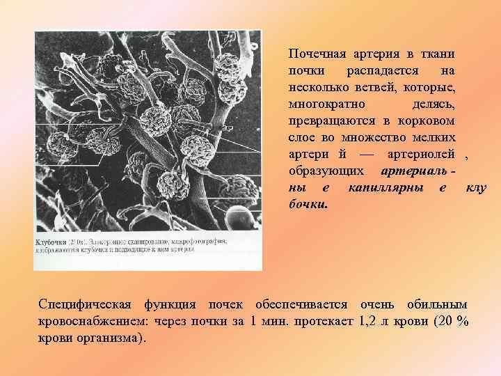 Почечная артерия в ткани