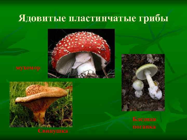 трубчатые грибы ядовитые и съедобные фото нетравматична, безболезненна