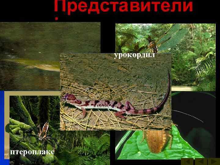 Представители   :    урокордил   бабочки