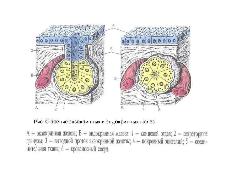 Рис. Строение экзокринных и эндокринных желез