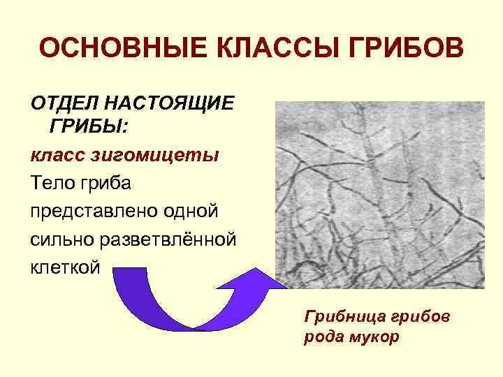ОСНОВНЫЕ КЛАССЫ ГРИБОВ ОТДЕЛ НАСТОЯЩИЕ  ГРИБЫ: класс зигомицеты Тело гриба представлено одной сильно