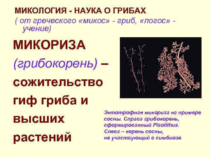 МИКОЛОГИЯ - НАУКА О ГРИБАХ ( от греческого «микос» - гриб,  «логос» -