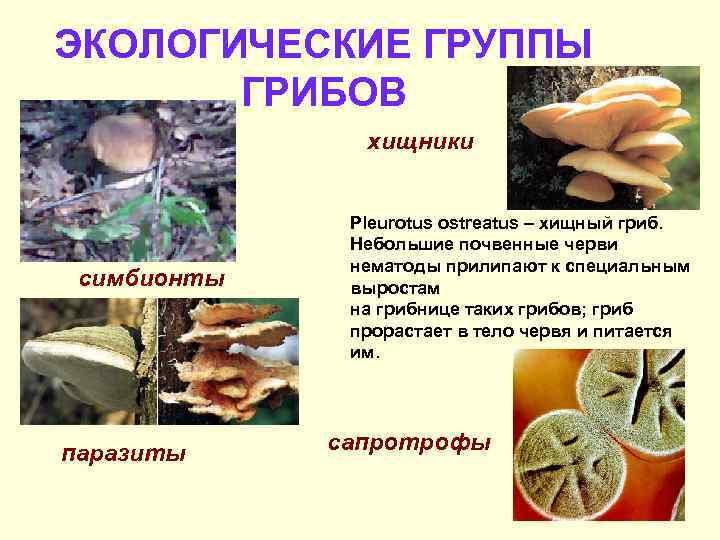 ЭКОЛОГИЧЕСКИЕ ГРУППЫ  ГРИБОВ    хищники   Pleurotus ostreatus – хищный