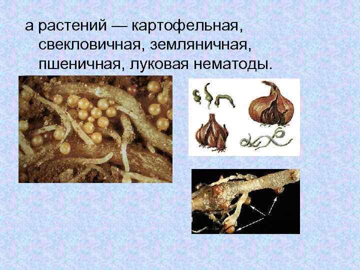 а растений — картофельная, свекловичная, земляничная, пшеничная, луковая нематоды.
