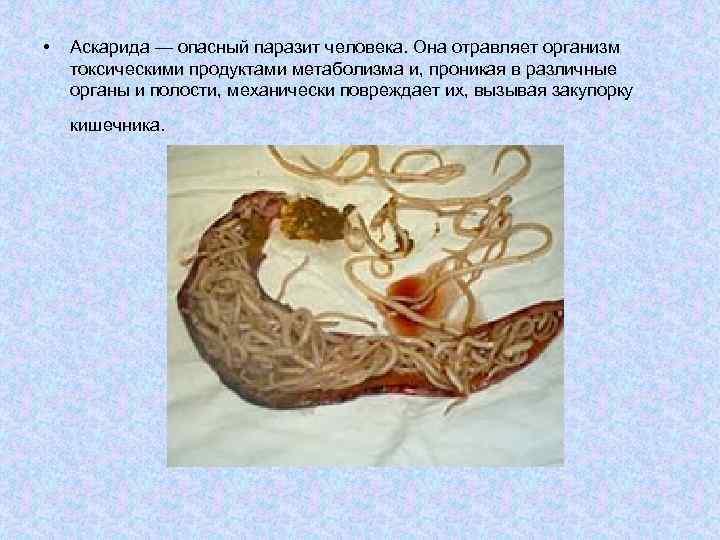 •  Аскарида — опасный паразит человека. Она отравляет организм токсическими продуктами метаболизма