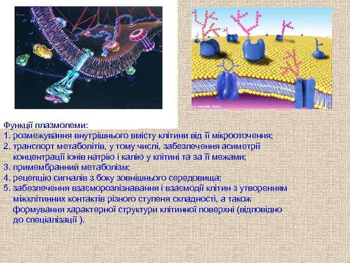 . Функції плазмолеми:  1. розмежування внутрішнього вмісту клітини від її