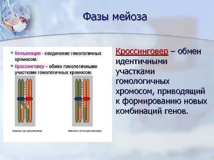 Фазы мейоза  n  Кроссинговер – обмен   идентичными   участками