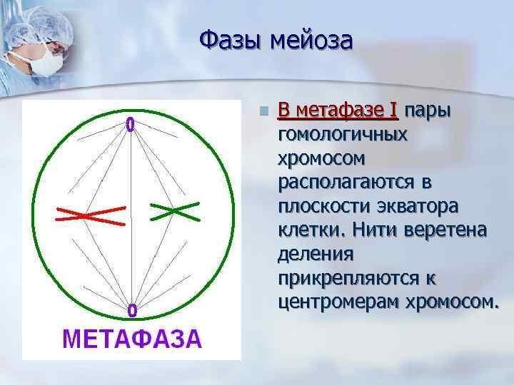 Фазы мейоза n  В метафазе I пары   гомологичных   хромосом